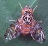 Mediterraneanfruitfly