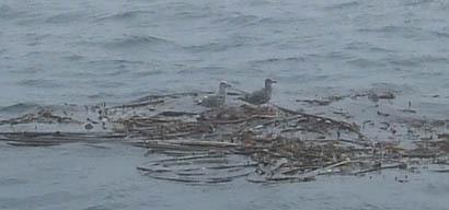 Montereyseagull