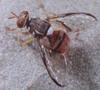 Orientalfruitfly