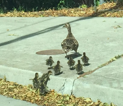 Duckfamily4