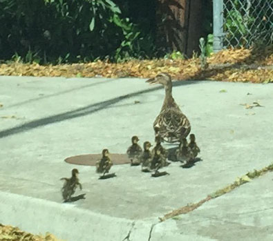 Duckfamily5
