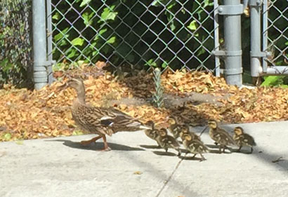 Duckfamily6