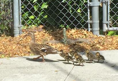 Duckfamily6